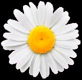 tumblr_static_daisy-bright-centre